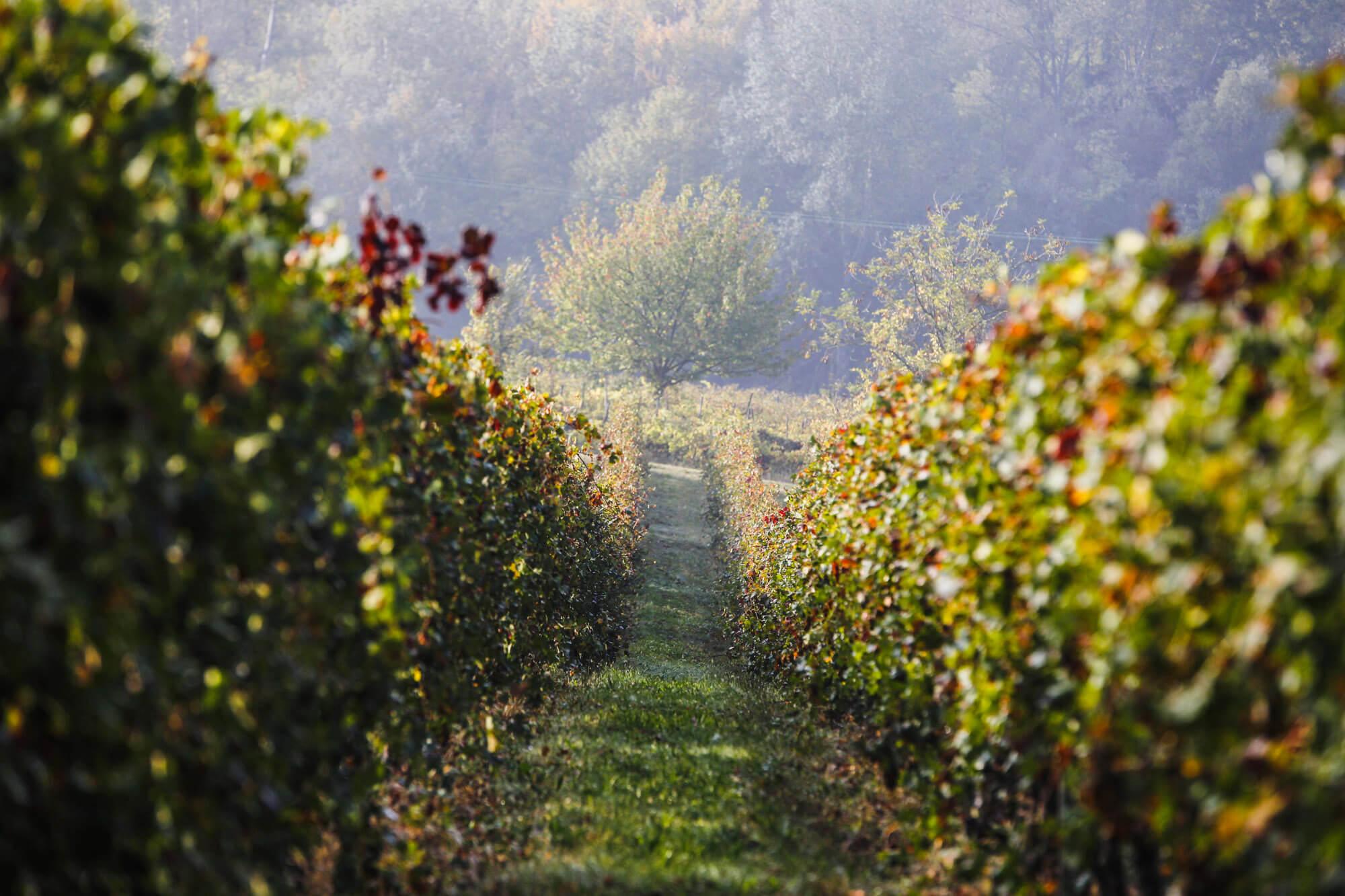 vigne cantine